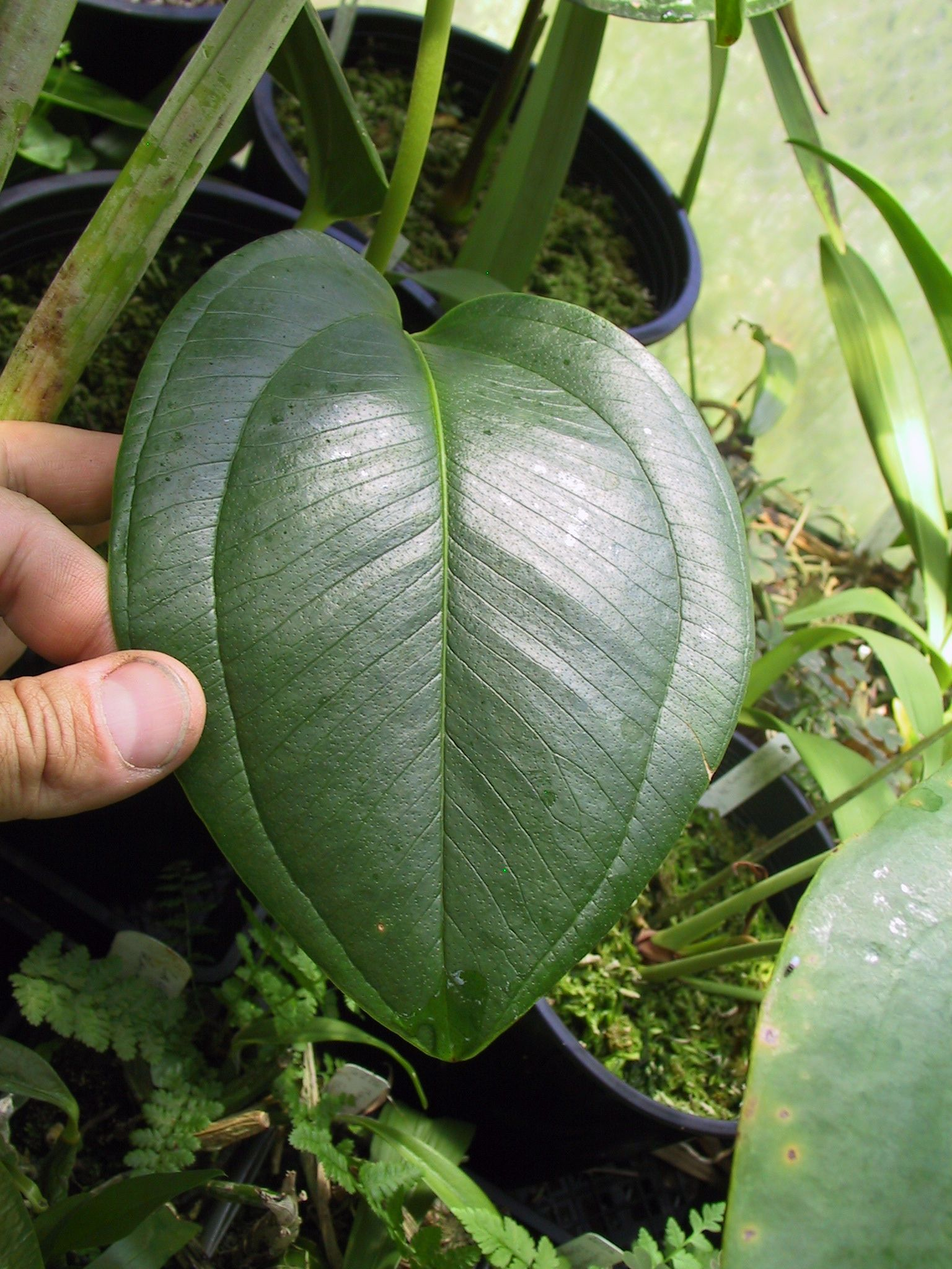 Anthurium 39 grubbii 39 - Anthurium turenza ...
