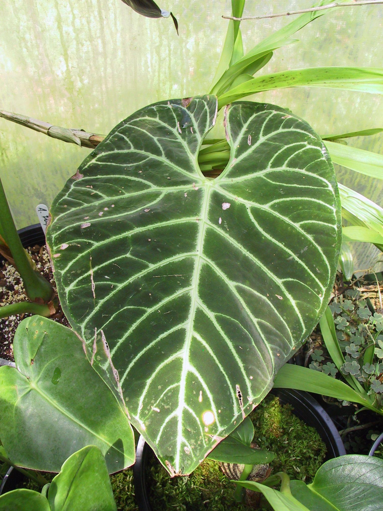 http://home.sandiego.edu/~kaufmann/aroids/anthurium/Anthurium_regale_01_vertical.jpg