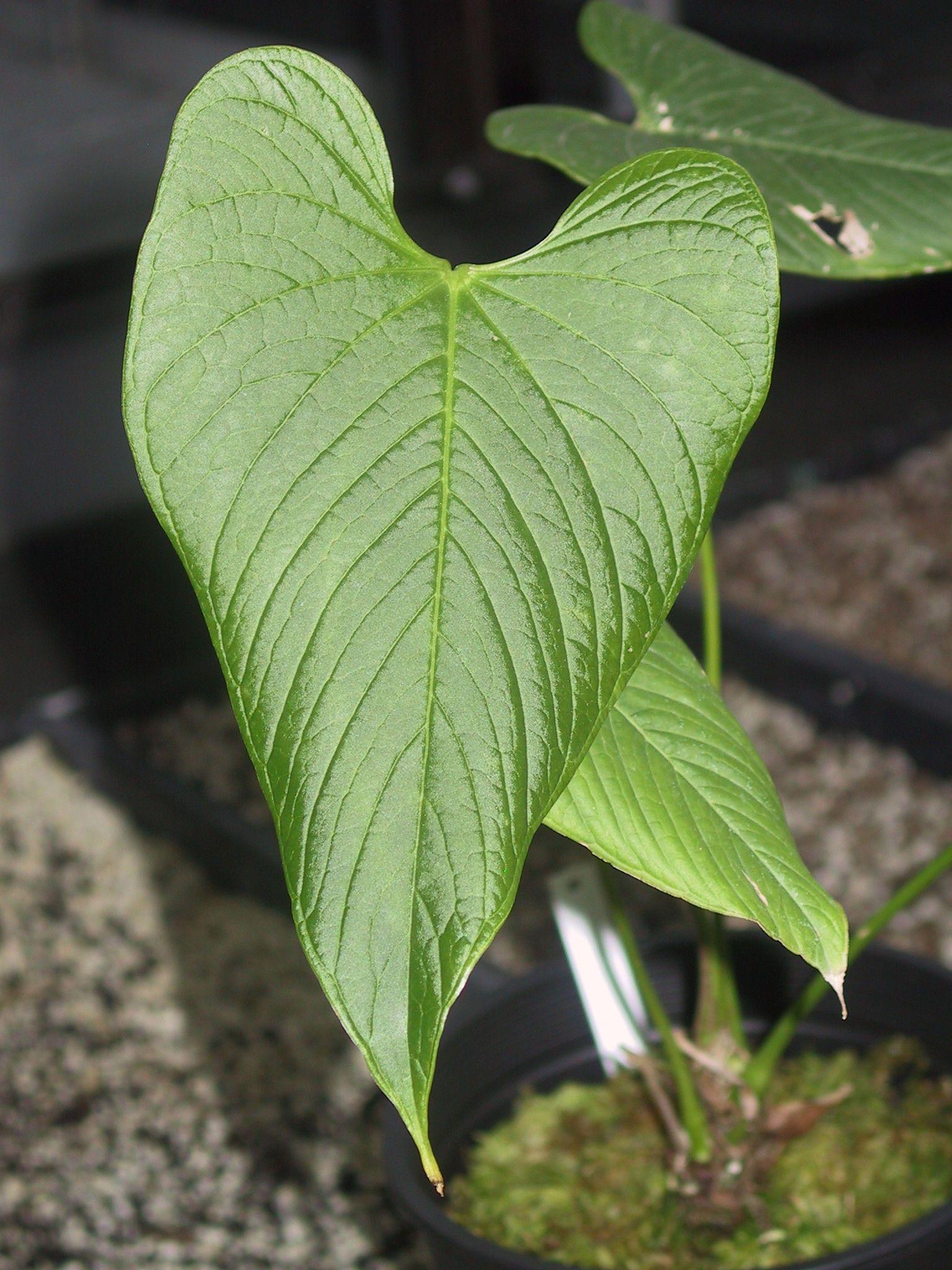 Anthurium species 39 coripatense 39 - Anthurium turenza ...