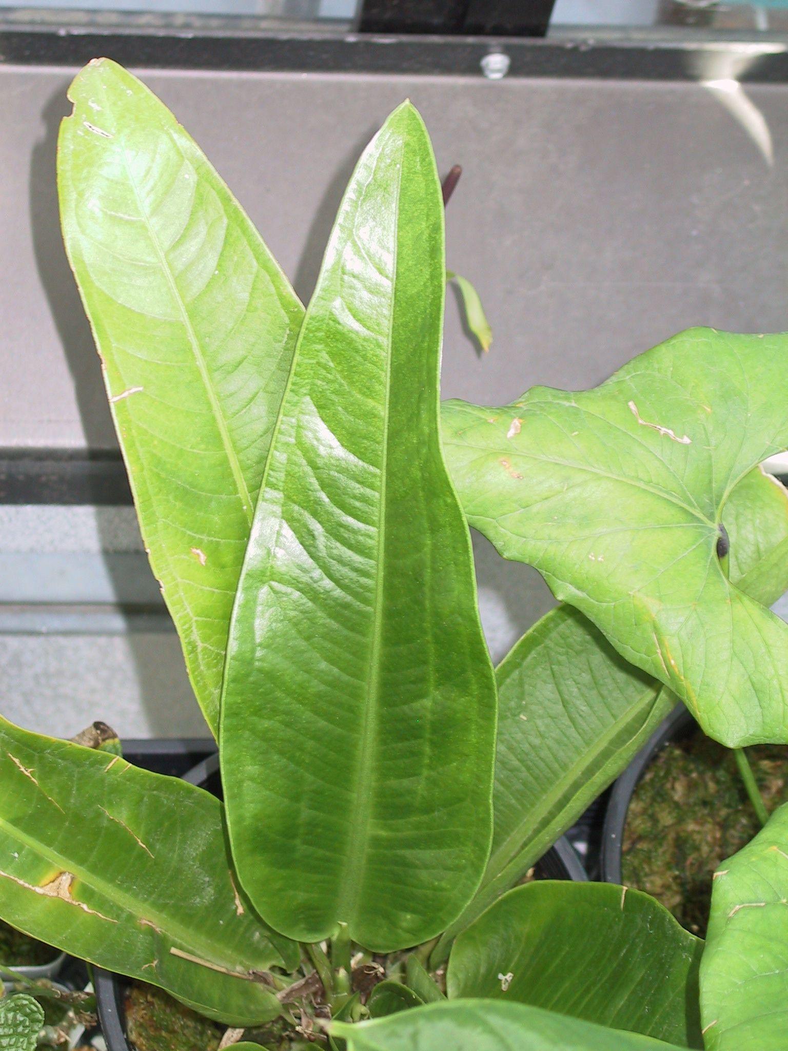 Anthurium species code 08 - Anthurium turenza ...