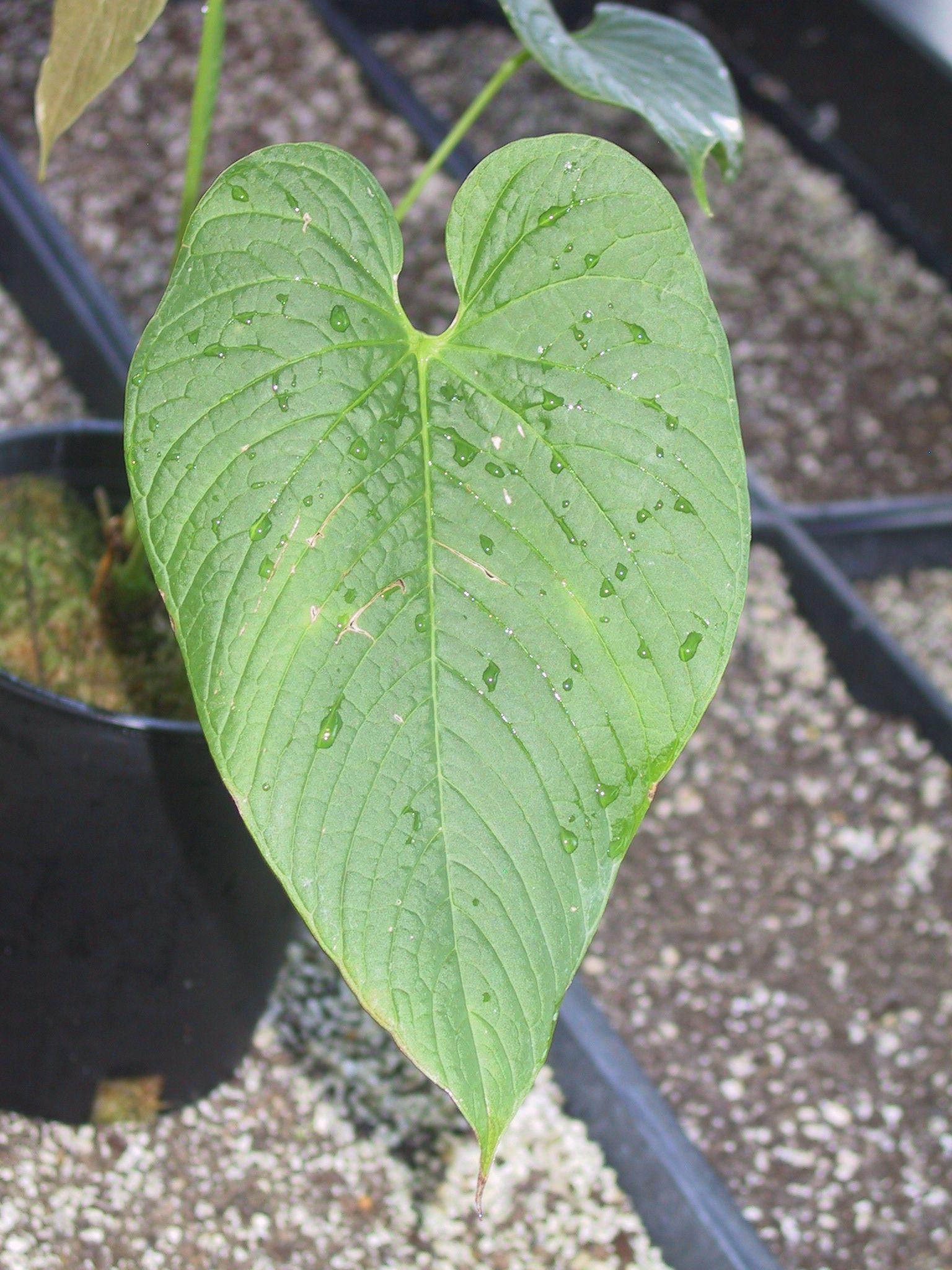 Anthurium species lanceolado - Anthurium turenza ...