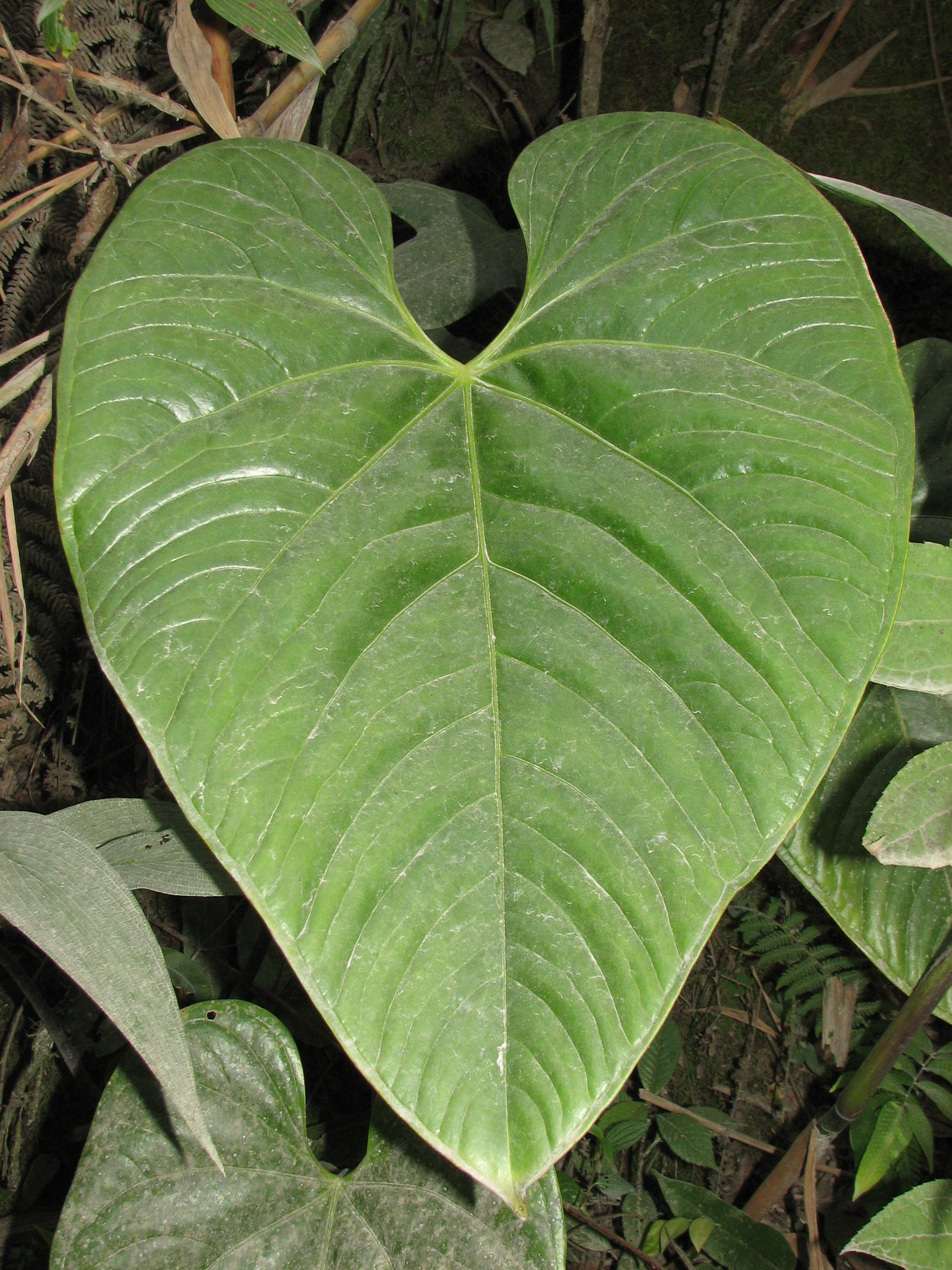 Amaluza - Anthurium turenza ...